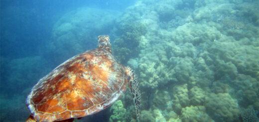 Sea turtle, Great Barrier Reef, Australia