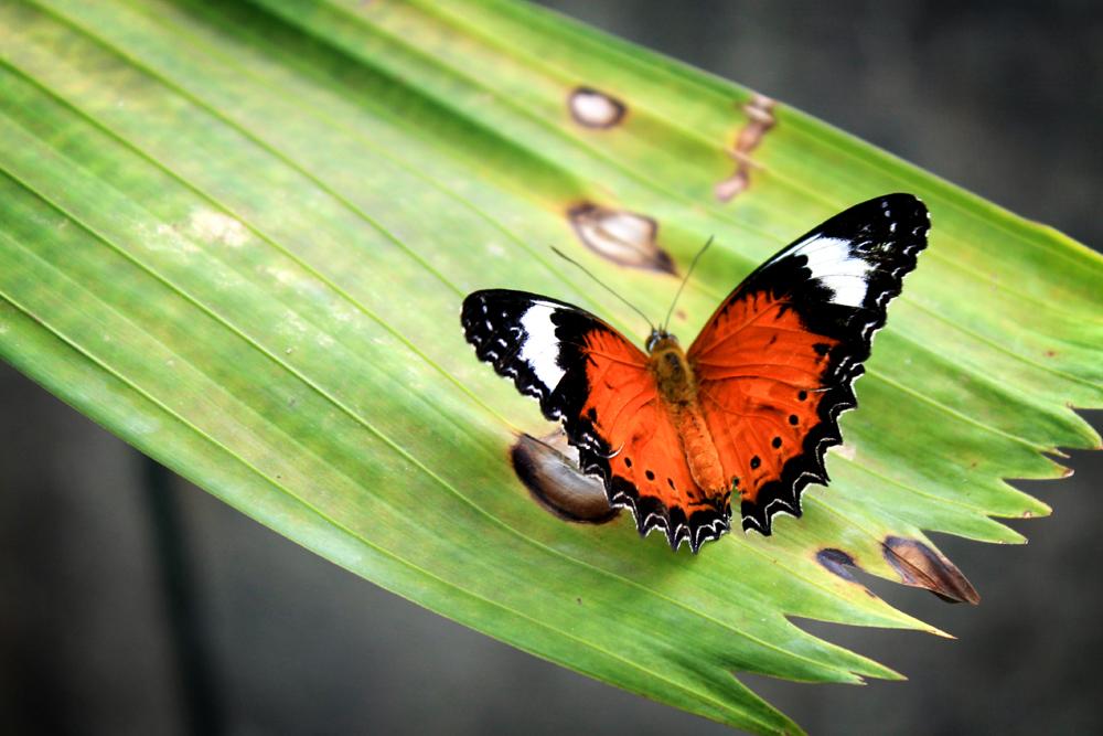 Australian Butterfly Sanctuary, Kuranda