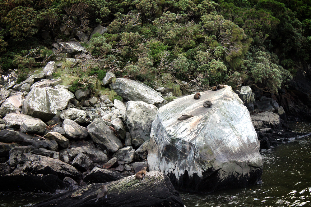 Seals, Milford Sound, New Zealand