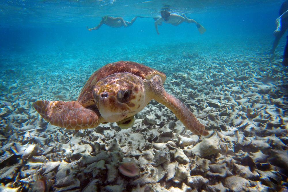 Sea turtle, Caye Caulker, Belize