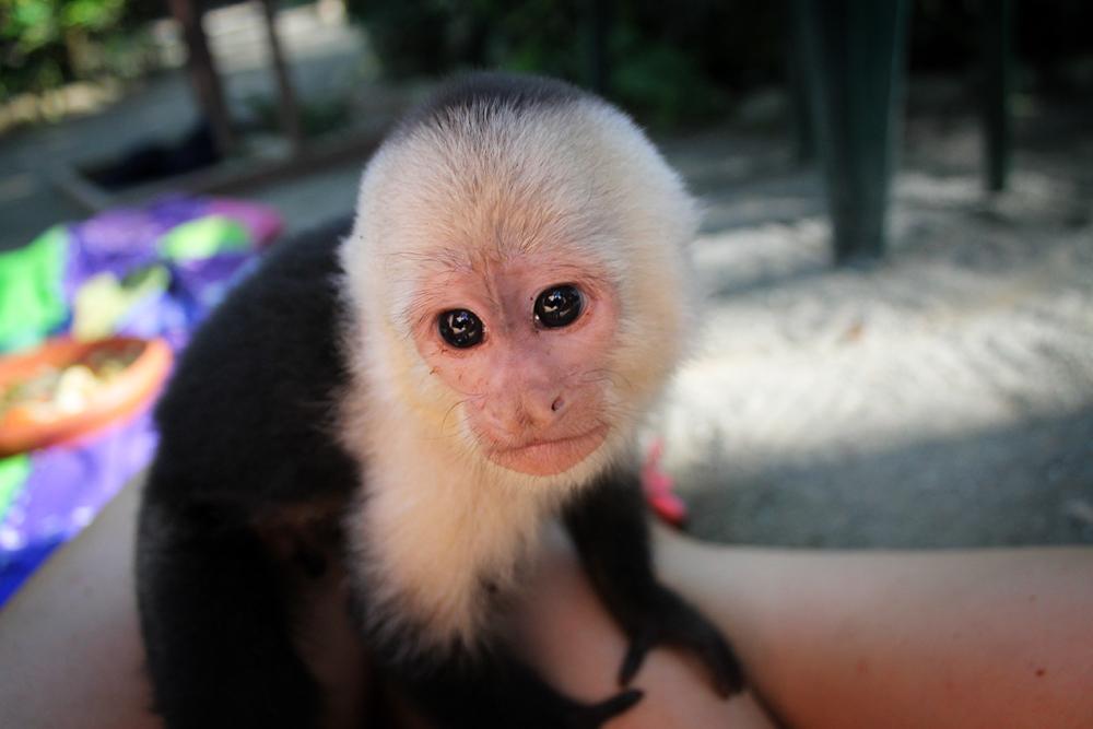 Capuchin monkey, Costa Rica