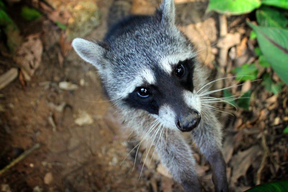 Raccoon, Jaguar Rescue Center, Costa Rica