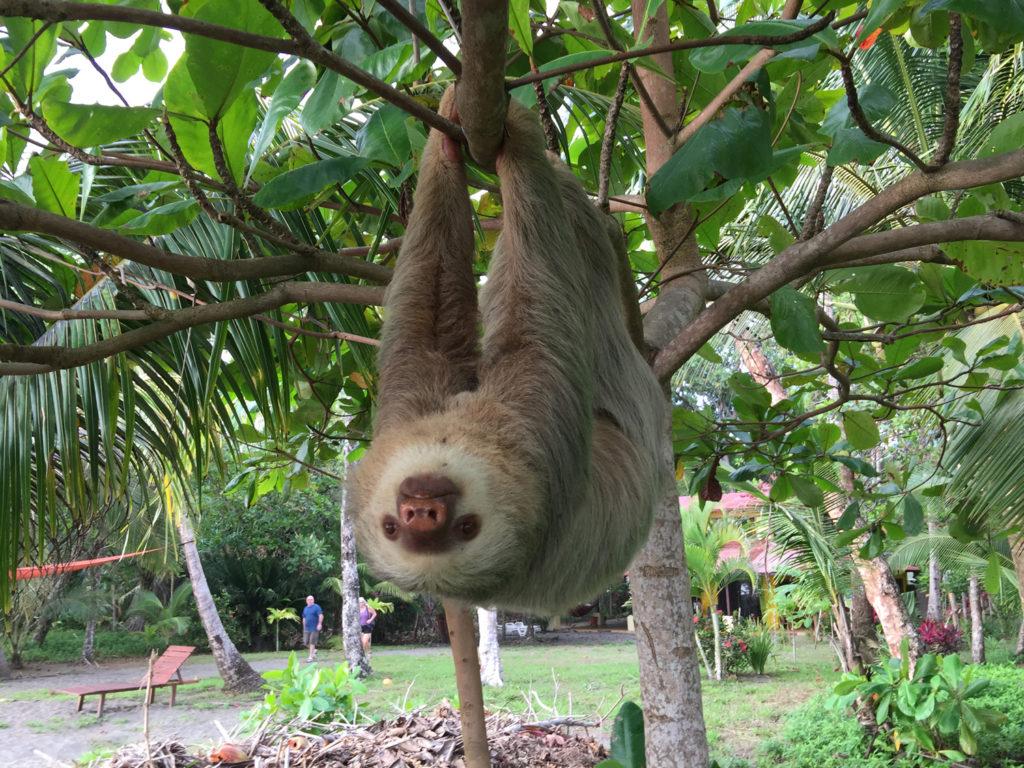 Sloth, Matapalo, Costa Rica