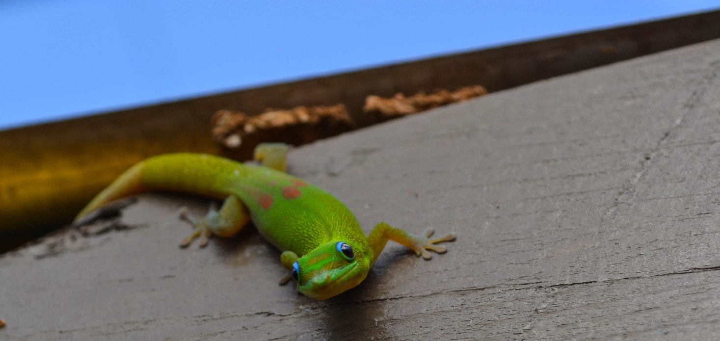 Gecko, Hawaii