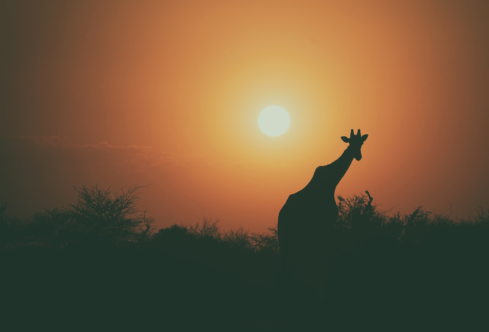 Giraffe, sunset in Africa